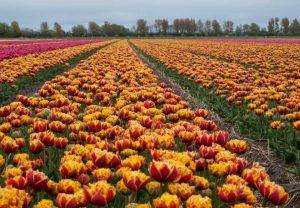 Bollenstreek - Holanda