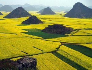 Campo de flores de canola - China