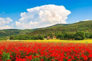 Campos de papoula da Toscana - Itália - Amantes de Flores - Destinos