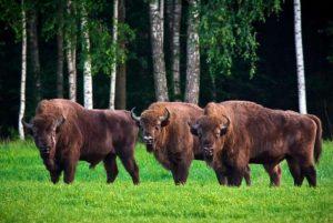 Floresta de Biatowieza - Polônia - Belarus
