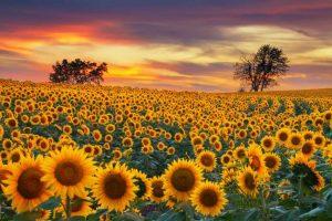 Girassóis do Kansas - Estados Unidos - Amantes de Flores - Destinos